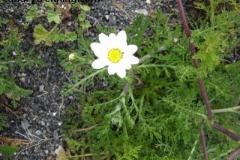 Argyranthemum frutescens 2