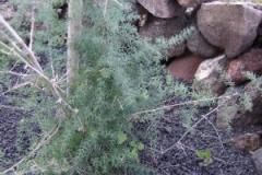 Asparagus hesiotes
