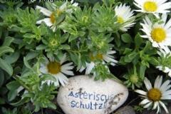 Asteriscus schultzii