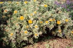 Nauplius sericeus - Odontospermum intermedium