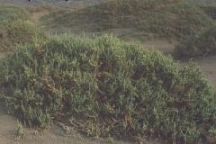traganum moquinii